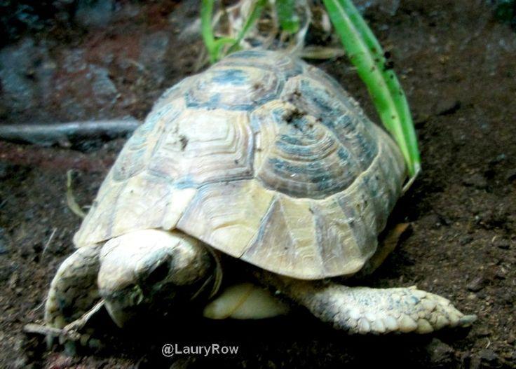 Petite tortue grecque Zoo de Lille / @LauryRow