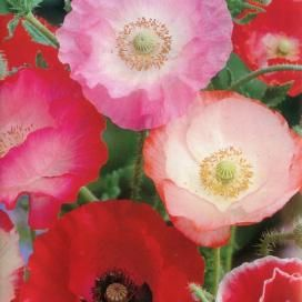 Poppy Seeds | Poppy Flower Seeds for Sale - EdenBrothers.com