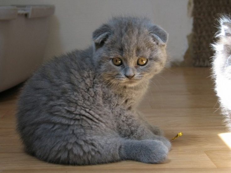 Scottish Folds are not recommended for families with young children
