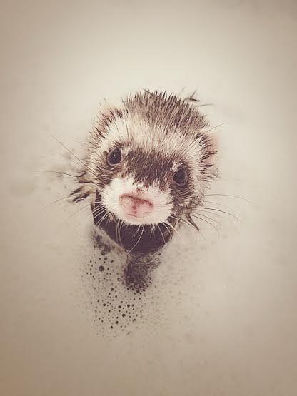 scrub a dub dub, little ferret in a tub!
