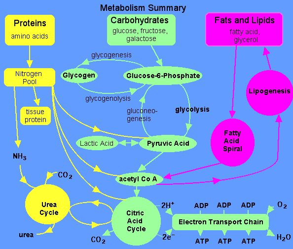 Understand how proteins and fats are broken down for energy and see how that relates to the theory behind low-carb diets and ketoacidosis in diabetes.