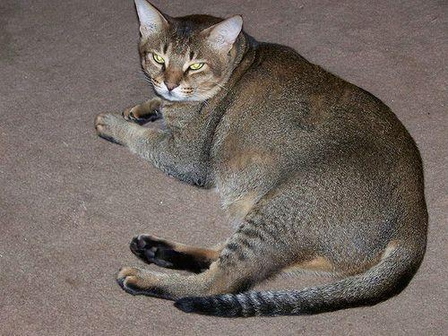 5 Jenis Corak Yang Ada Pada Kucing Belang (Tabby) – The