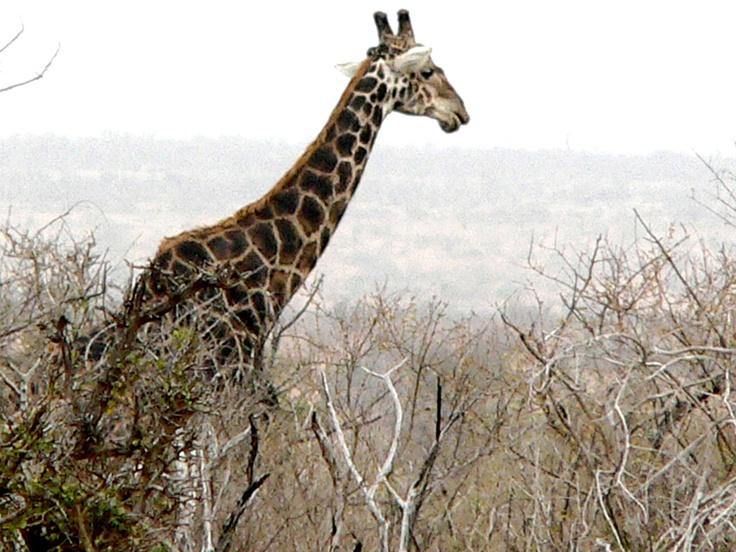 Giraffe: Giraffe, Animal