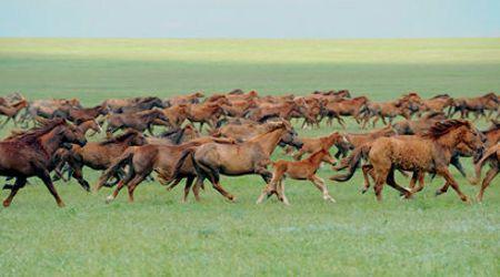 Os cavalos selvagens da ilha de Vodnii
