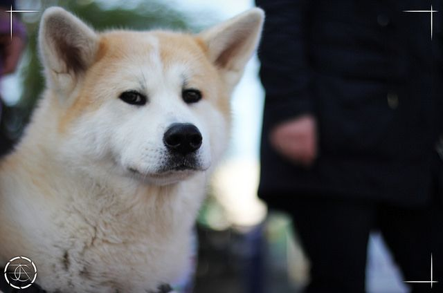 Is Your Akita Driving You Crazy Within Hours Stop Barking Growling Pulling On The Leash And Constant Dog Training Obedience Dog Training Jumping Akita Dog