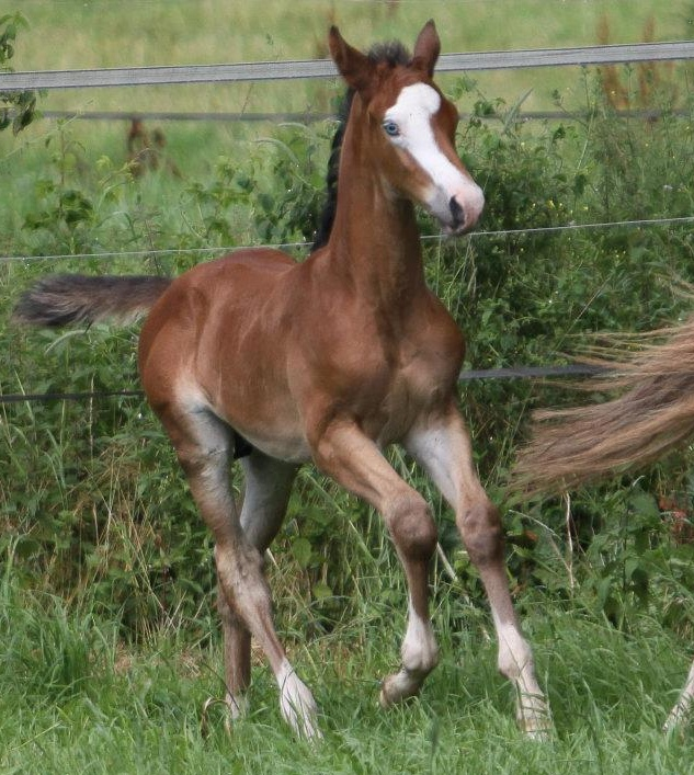 Another Paint-looking Trakehner  - full brother to Something To Talk (both parents are the same); Pictured is Schiller, colt