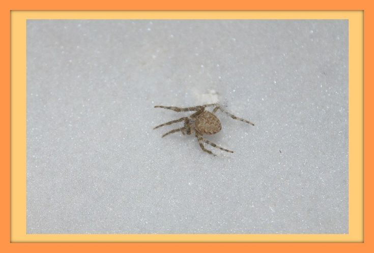 """Frozen Spider Poor guy! This poor creatureis probably anAraneus cavaticusotherwise known as a barn spider. It is a type of orb-weaver which means is weaves a circular web which is the web-type typically thought of when you think """"spider"""". #spider #arachnid #orbweaver #science"""