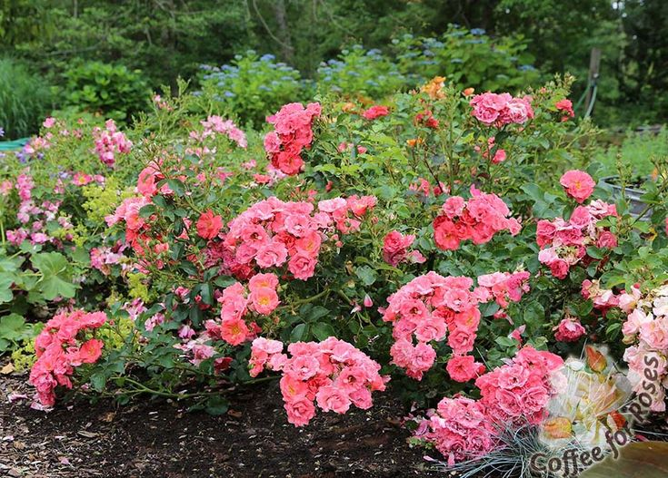 Groundcover/low growing spreader rose with bright green foilage?