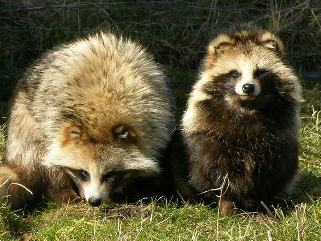 Raccoon dogs usually become more active again in February when the warmer, spring weather begins to return. Description from therushforum.com. I searched for this on bing.com/images