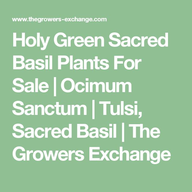 Holy Green Sacred Basil Plants For Sale | Ocimum Sanctum | Tulsi, Sacred Basil | The Growers Exchange