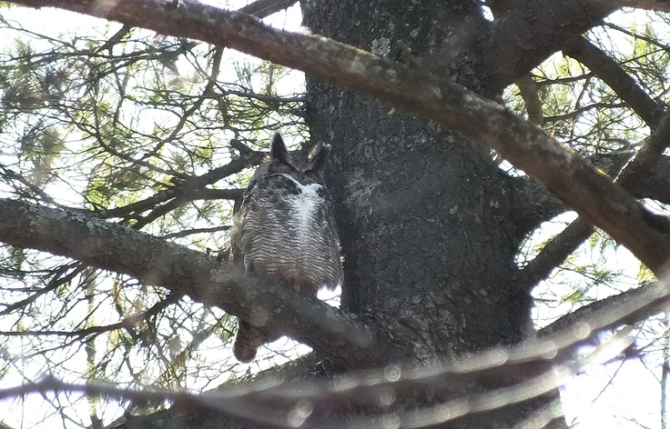Keeping a watch on its nest, a Great Horned Owl - male sits in a tree in Thickson's Woods in Whitby - Ontario