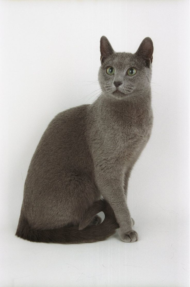 166 best Russian Blue images on Pinterest