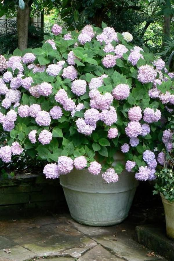 Ful Pastels 29 Ways To Grow Hydrangeas In Containers Southernliving If You Want Plant But Don T Commit Bright Blues Or
