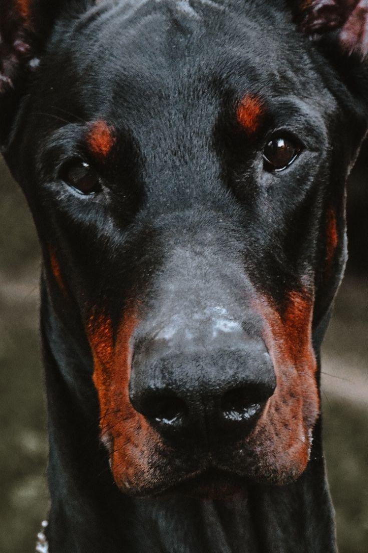 Doberman Dog Black Pet Animal Wallpaper Dogs Doberman Animals