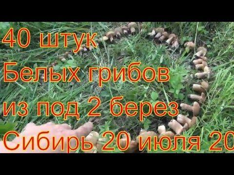 Белые грибы Из под 2 берез 42 белых грибов Поход в лес  ищем грибы по за...