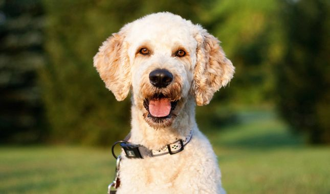 Goldendoodles are suited to many types of homes because they are so adaptable and outgoing. Learn all about Goldendoodle breeders, adoption health, grooming, training, and more.
