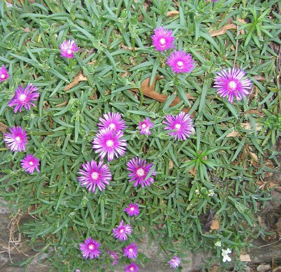 Delosperma cooperi Ice Plant - DMT | Plants&Garden ...