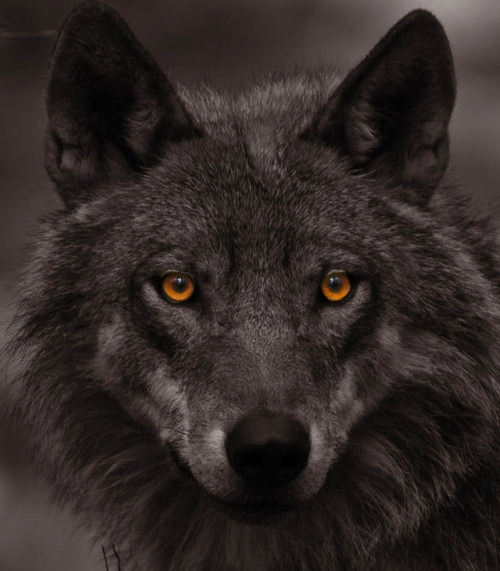 38 Best Wolf Eye, Wolf Eyes Images On Pinterest