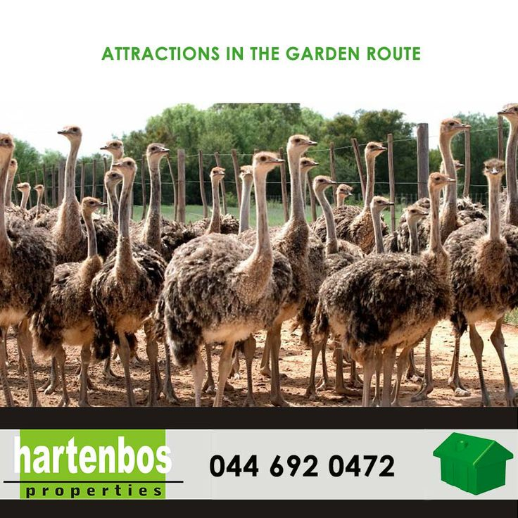 Living in the Garden Route gives you a lot of attractions close by. Safari Ostrich Show Farm, Oudtshoorn. #safari #gardenroute #attractions