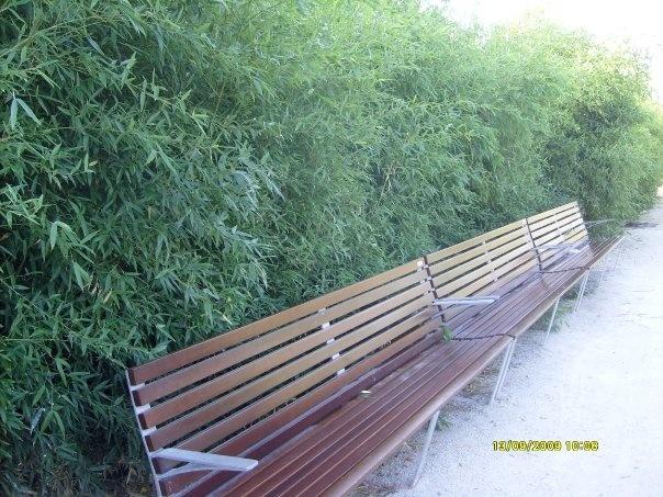 """""""BAMBUSA GRACILIS""""  Nomes Populares: Bambuzinho-de-jardim, Bambu-de-jardim, Bambuza, Bambuzinho-amarelo   Família: Poaceae   Categoria: Arbustos, Arbustos Tropicais, Cercas Vivas   Clima: Equatorial, Oceânico, Subtropical, Tropical   Origem: Ásia, China, Japão   Altura: 3.6 a 4.7 metros, 4.7 a 6.0 metros   Luminosidade: Meia Sombra, Sol Pleno   Ciclo de Vida: Perene"""