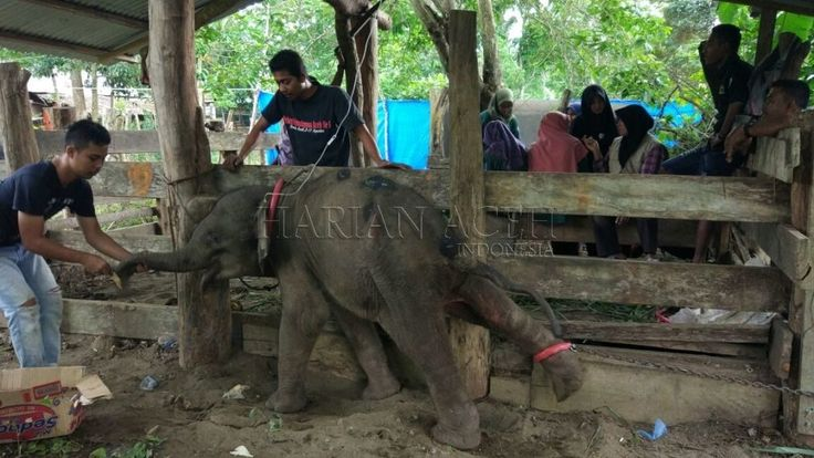 Badan Konservasi Sumber Daya Alam Aceh Selamatkan Anak Gajah