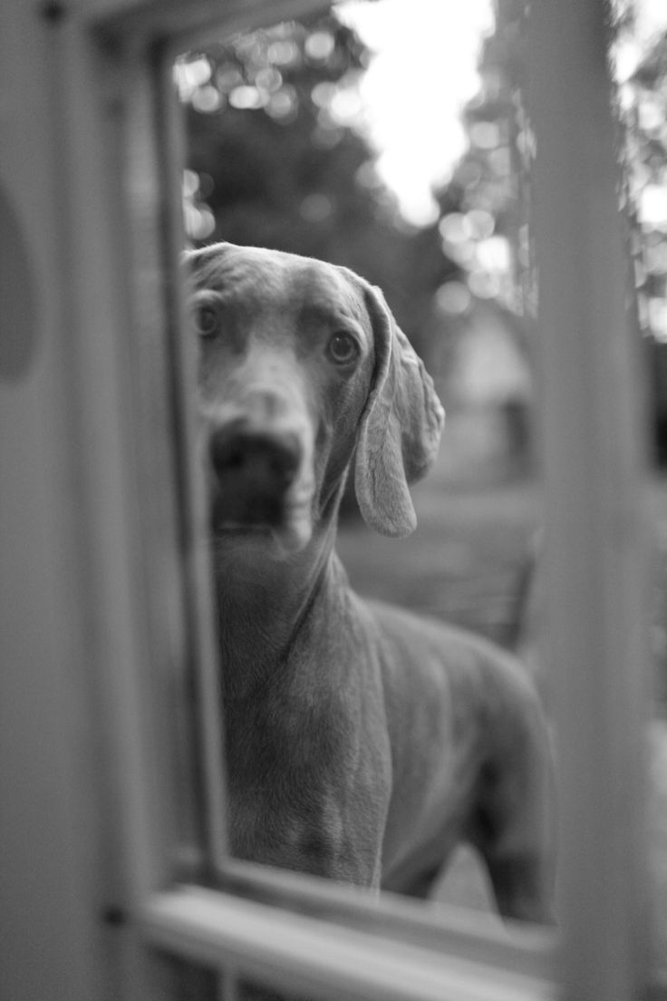 best doggies images on pinterest doggies weimaraner and dogs