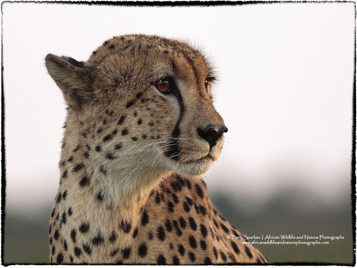 The Cheetah (Acinonyx jubatus) my favourite of the big cats.