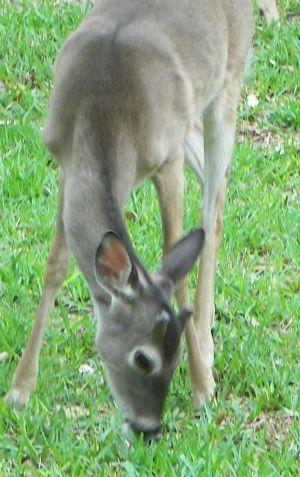 What Do Deer Eat - Natural foods deer eat in the wild