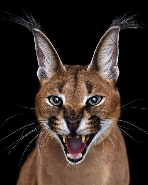 Photographer Creates Stunning Studio Portraits Of Exotic Animals Looking Directly Into The Camera