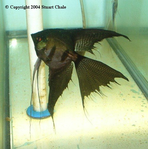 black lace angelfish | Black Veiltail Angelfish ...