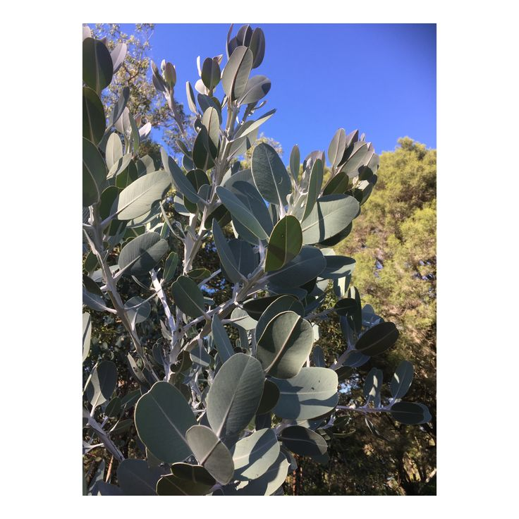 Eucalyptus pleurocarpa (foliage detail)