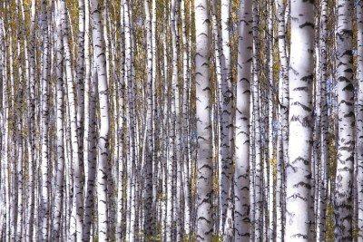 Automne paysage forestier jaune peuplier faux-tremble arbres bouleaux Banque d'images - 8173630