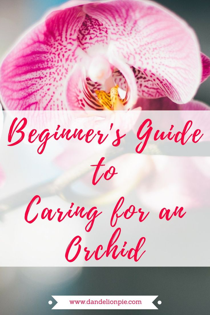 A Beginner's Guide to Caring for an Orchid #orchid #plant #howto #blogger