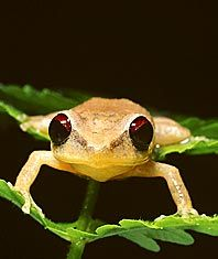 Coqui Frog from Puerto Rico...