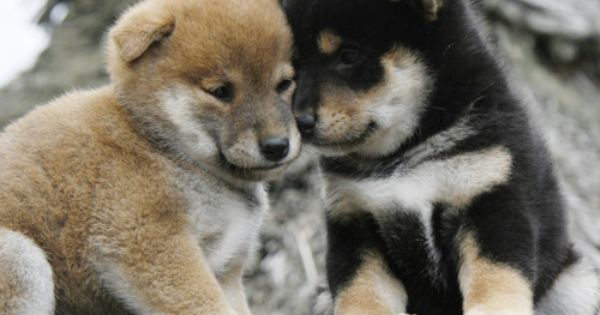 Dogspuppiesforsalecom liked | Kishu Inu | CHIOTS SHIBA INU AKITA INU SHIKOKU KEN SPITZ JAPONAIS KISHU INU ... Getting a dog or a puppy as a new addition to your family is an excellent decision! You're adding another member that can provide lots of love and enjoyment! This is a relationship you'd want to make sure that you're doing right the first time around. You'll need to find out what makes your dog happy what are the things to look out for and basically how to give them a long and…