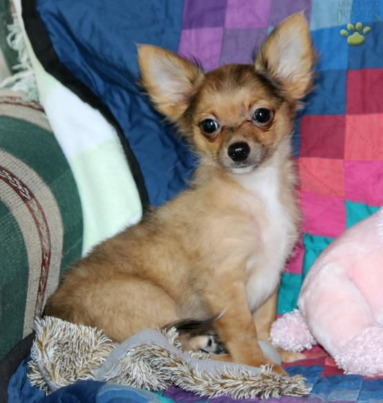 chihuahua for sale in pa 17 best images about cute toy puppies for sale on 4638