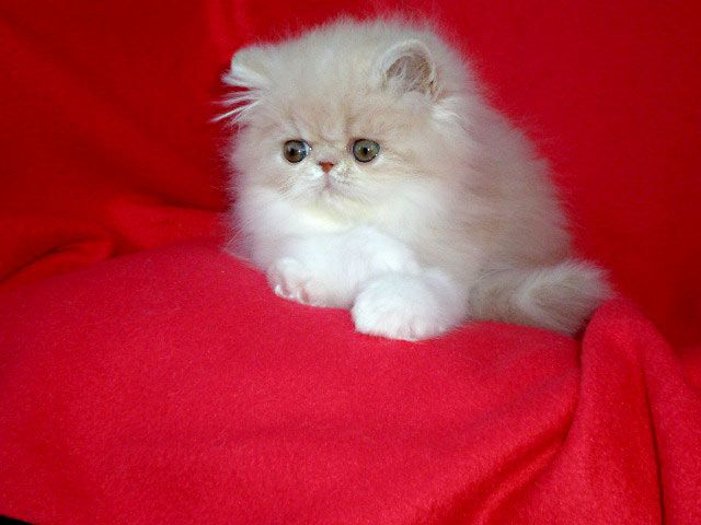 Persian kitten for sale - cream tabby*white female at 8 weeks