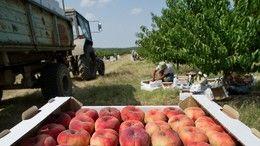 Сбор фруктов в Крыму