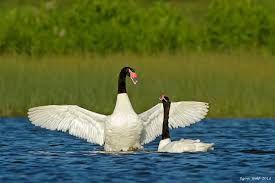 Resultado de imagen para imagen de cisne de cuello negro