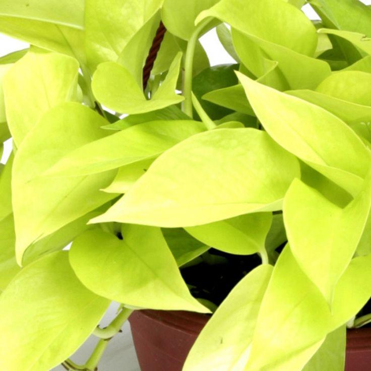 Neon Pothos   Indoor G(art)en Plants   Pinterest
