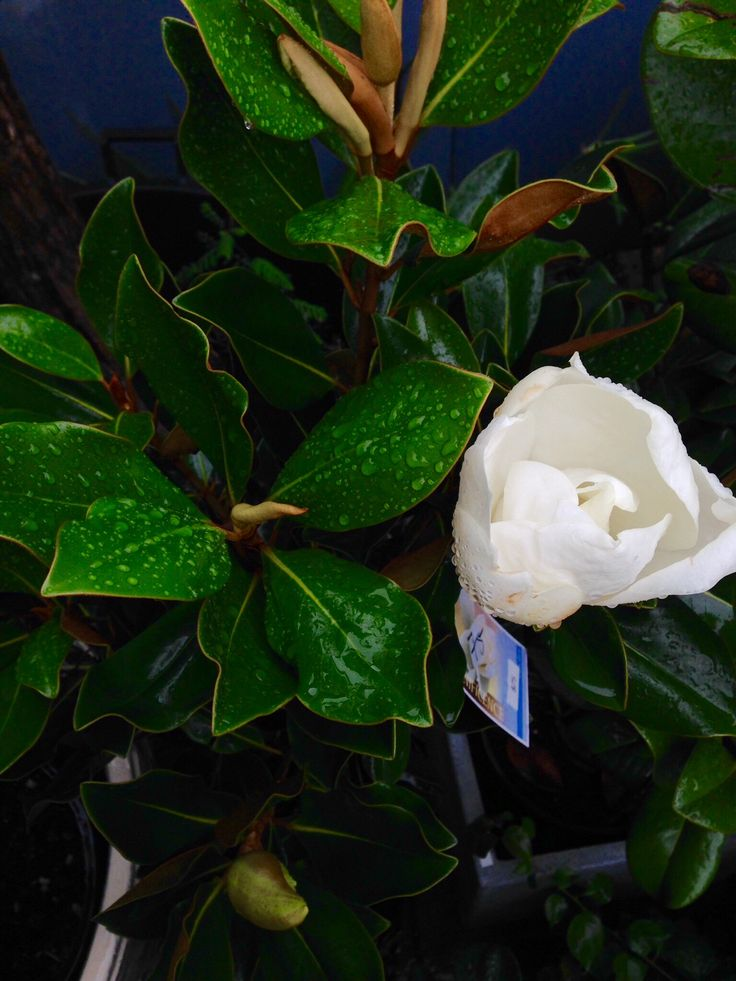 Who doesn't love a beautiful magnolia , we know mum will!