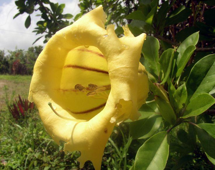 Fleur de Marie Galante