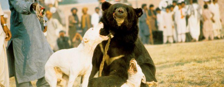 In Pakistan zijn beer-hondengevechten helaas nog niet gestopt. Voor het 'vermaak' van mensen wordt een beer aan een paal in een arena gebonden, waarna twee bloeddorstige honden op de weerloze beer worden losgelaten. Dit alles alleen maar om geld te verdienen.   SHAME ON YOU BASTARDS!!