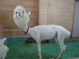 Image result for fluffy baby llamas