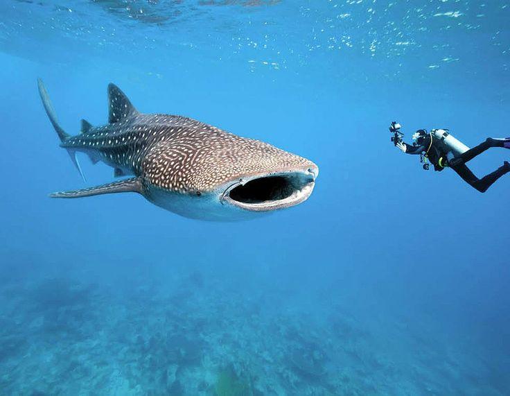 Duiken met een Walvishaai | Filipijnen - Malediven ...