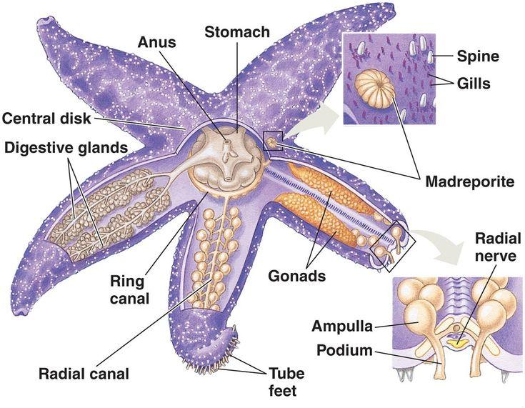 Starfish Anatomy Diagram Unlabeled - Information Of Wiring Diagram •
