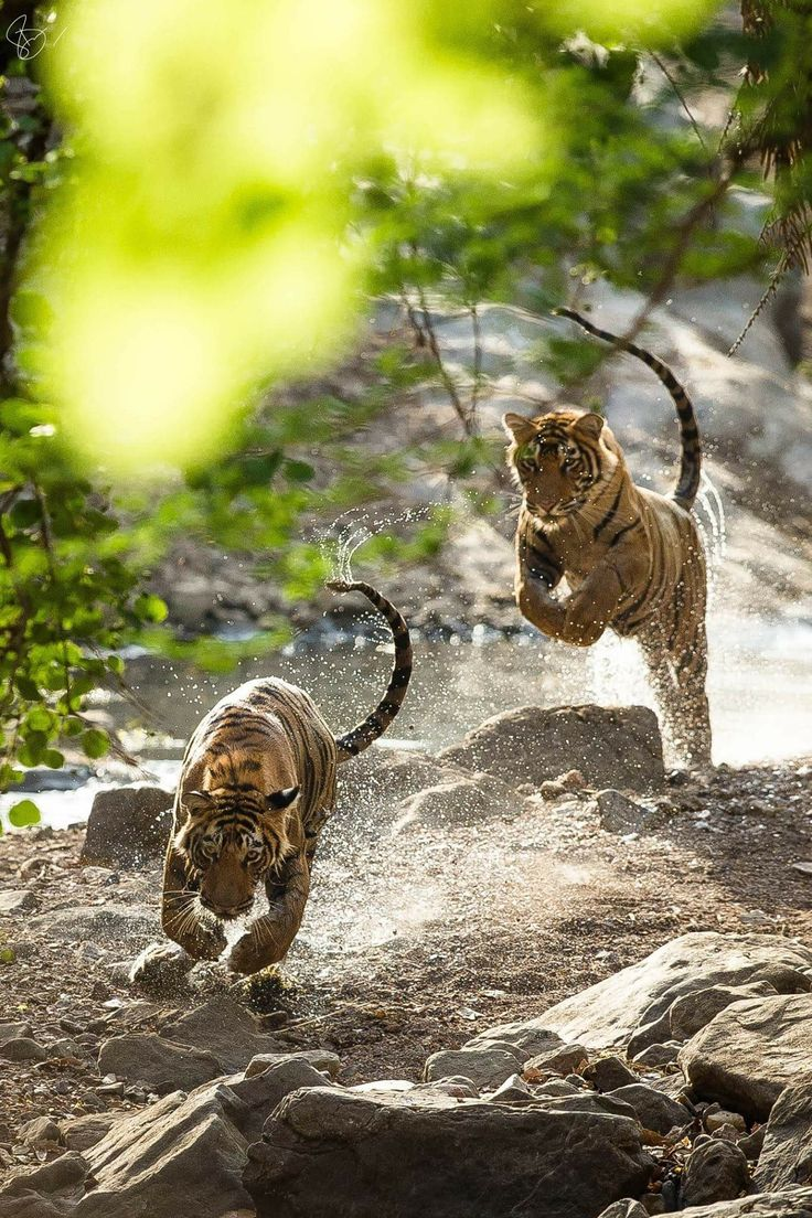 A rare sight !! Two wild tigers run at top speed, assume two brothers working together ( tigers usually stalk prey alone ) but these two brothers remained close ( blood is thicker than water n all that ) ❤️