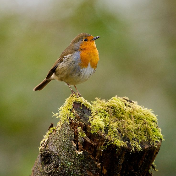 RobinErithacus Rubecula, Birds Butterflies, Rubecula Bi, Robin Tweets, Bi Welshmanwandering1, Birds Robin, Animal Birds, True Beautiful
