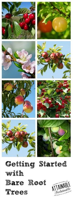 Winter gardening: Time to choose your bare root varieties for your urban garden or small orchard. Apple trees, pear trees, plum trees, along with plants like grapes and strawberries should be available in your nursery in the early parts of the year.