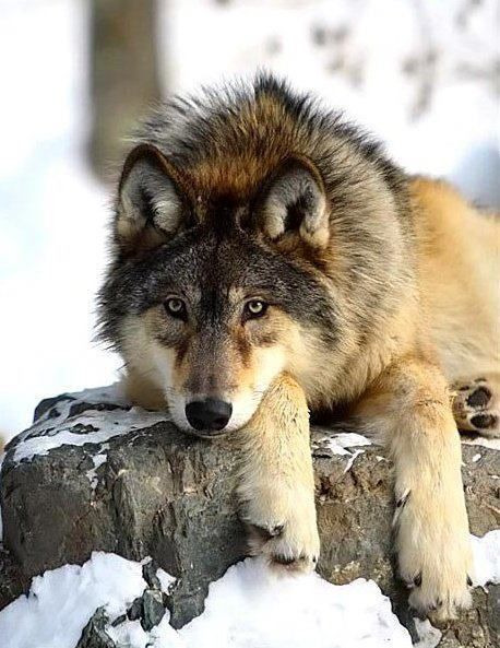 Wolf...what a beauty. Reminds me of Mika's Mom, Harley.